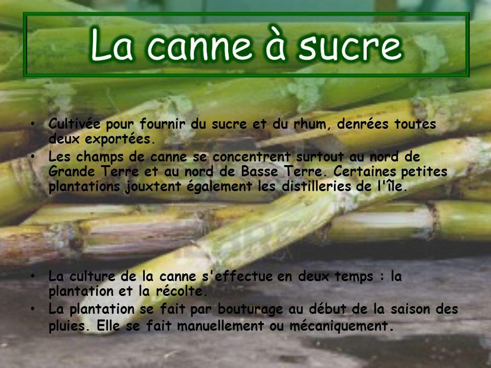 La canne à sucre Cultivée pour fournir du sucre et du rhum, denrées toutes deux exportées.
