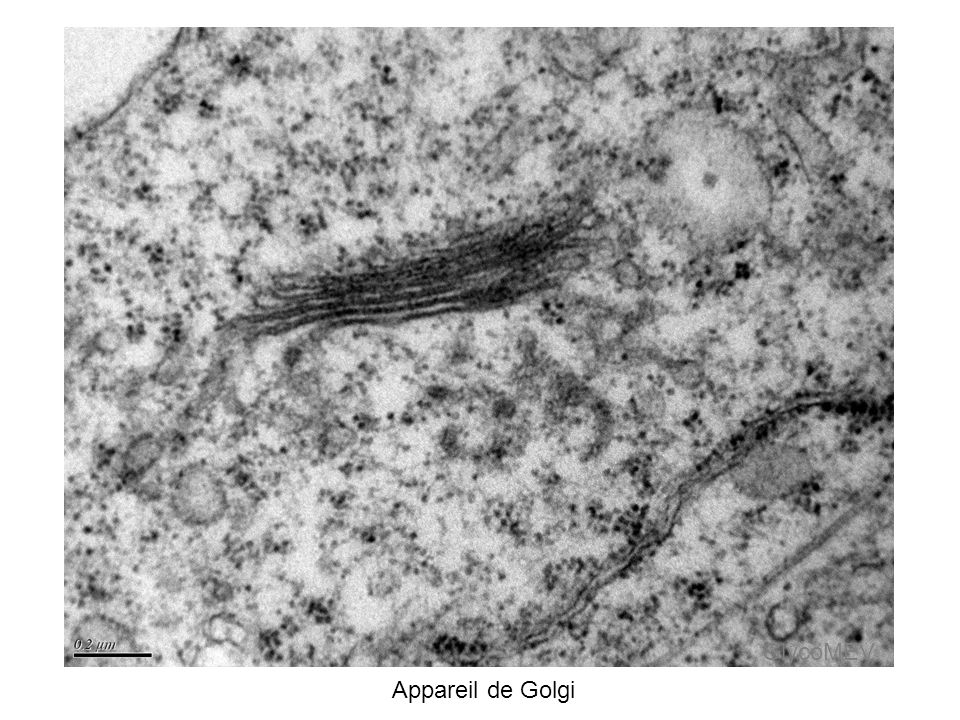 GlycoMEV Appareil de Golgi