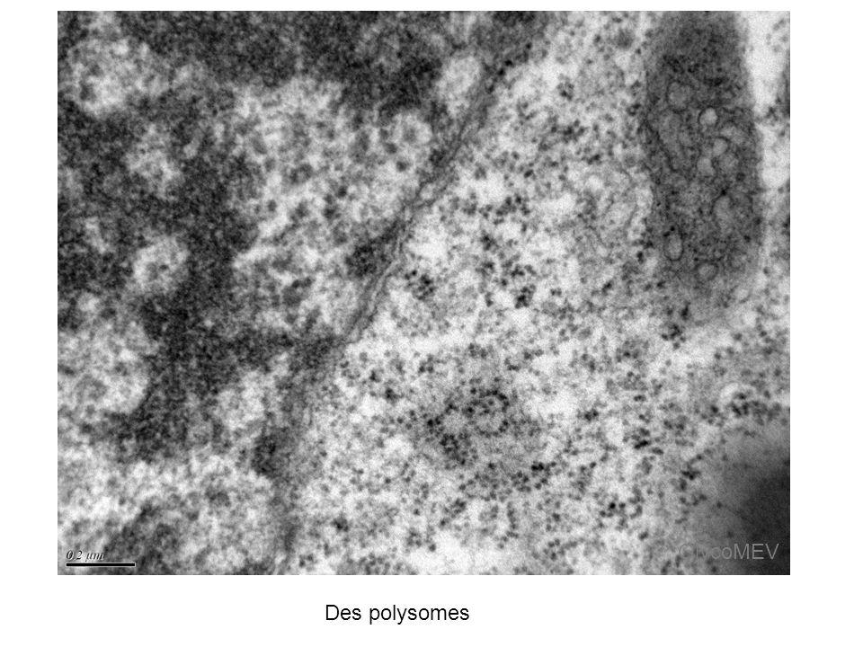 GlycoMEV Des polysomes