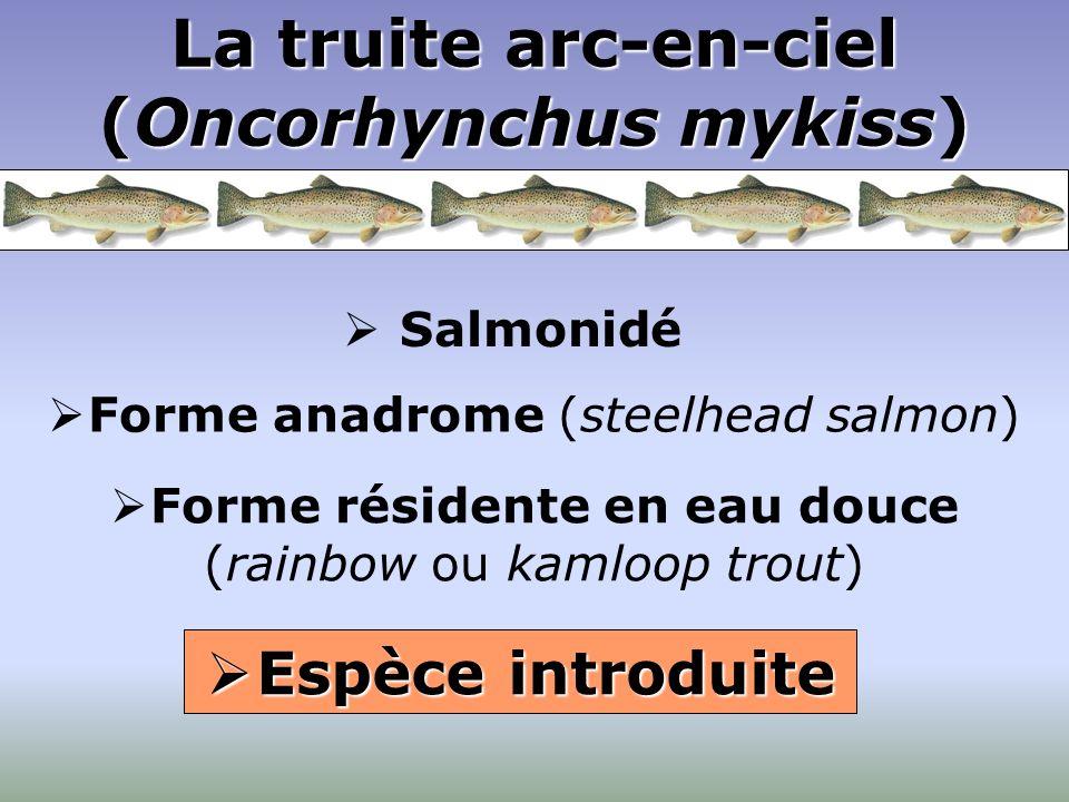 La truite arc-en-ciel (Oncorhynchus mykiss)