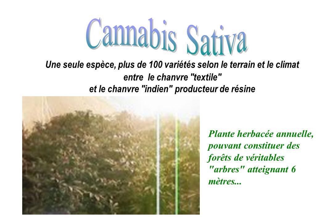 Cannabis Sativa Une seule espèce, plus de 100 variétés selon le terrain et le climat. entre le chanvre textile