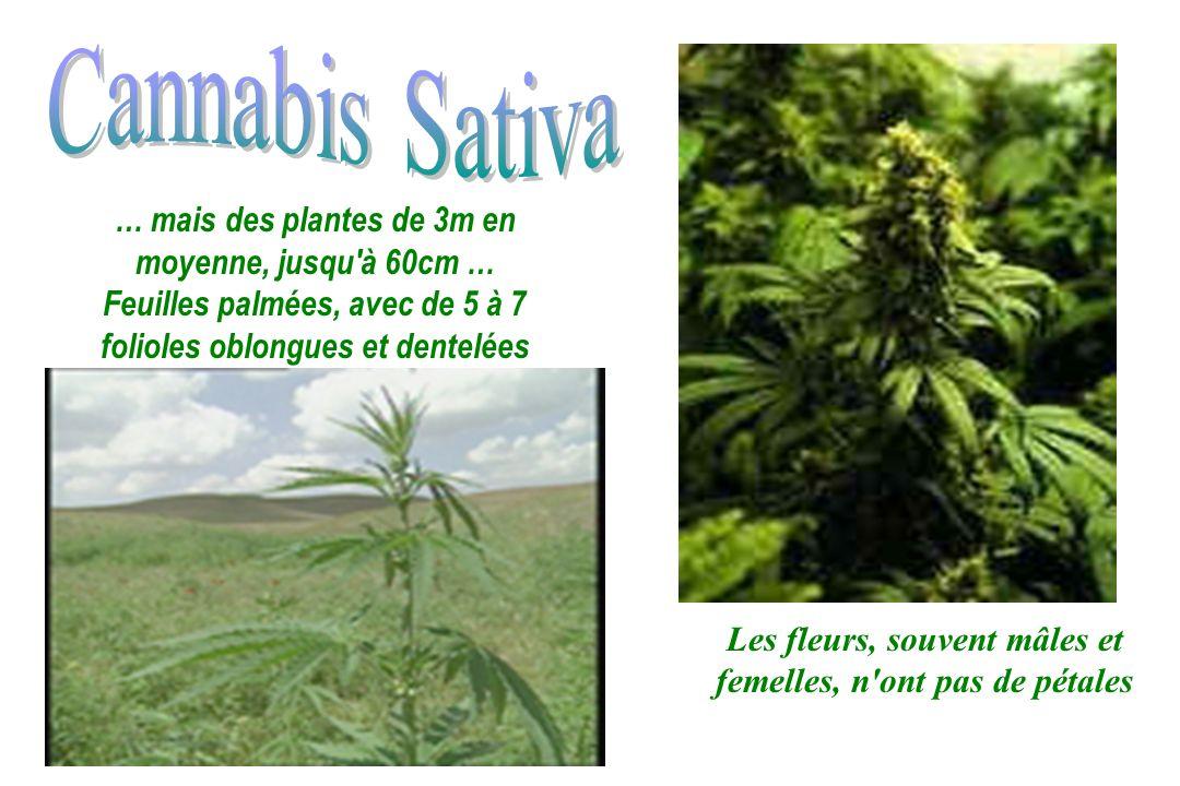Cannabis Sativa … mais des plantes de 3m en moyenne, jusqu à 60cm …