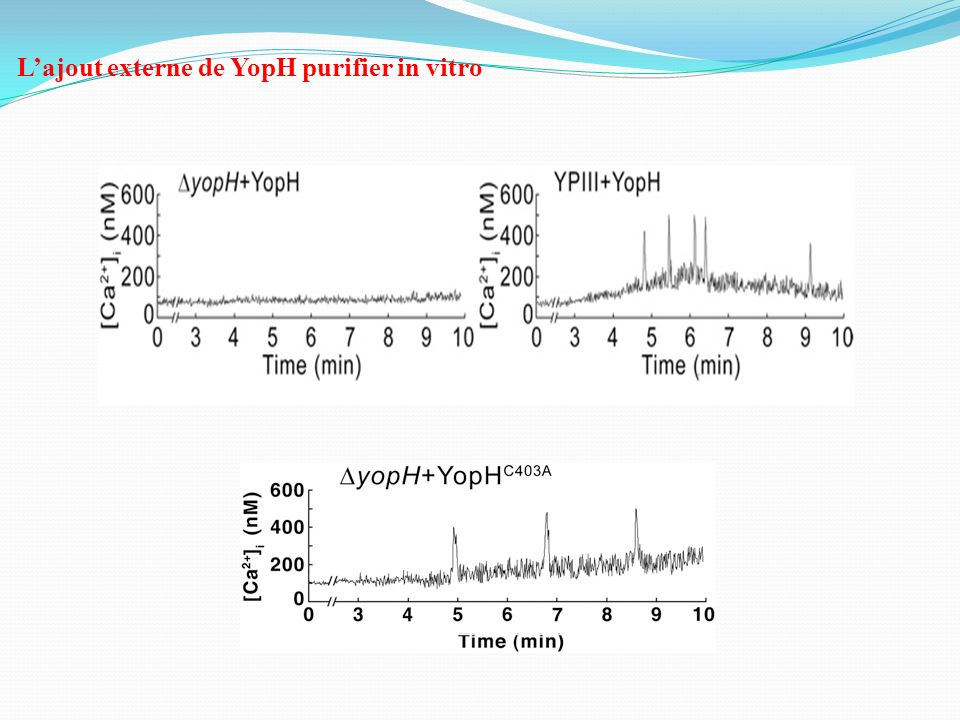 L'ajout externe de YopH purifier in vitro