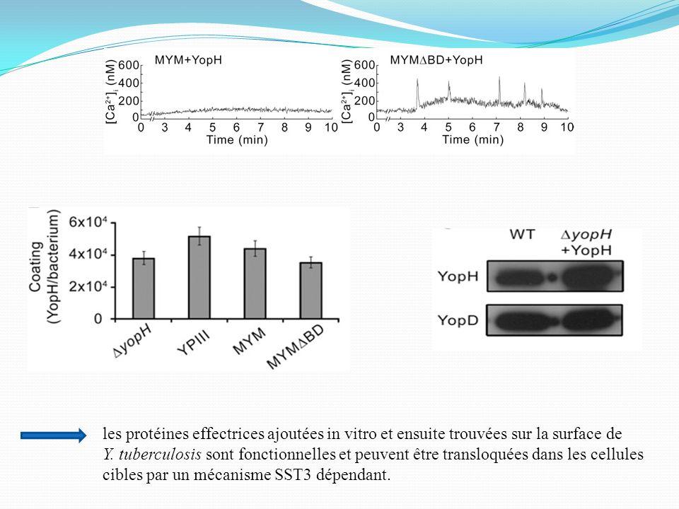 les protéines effectrices ajoutées in vitro et ensuite trouvées sur la surface de