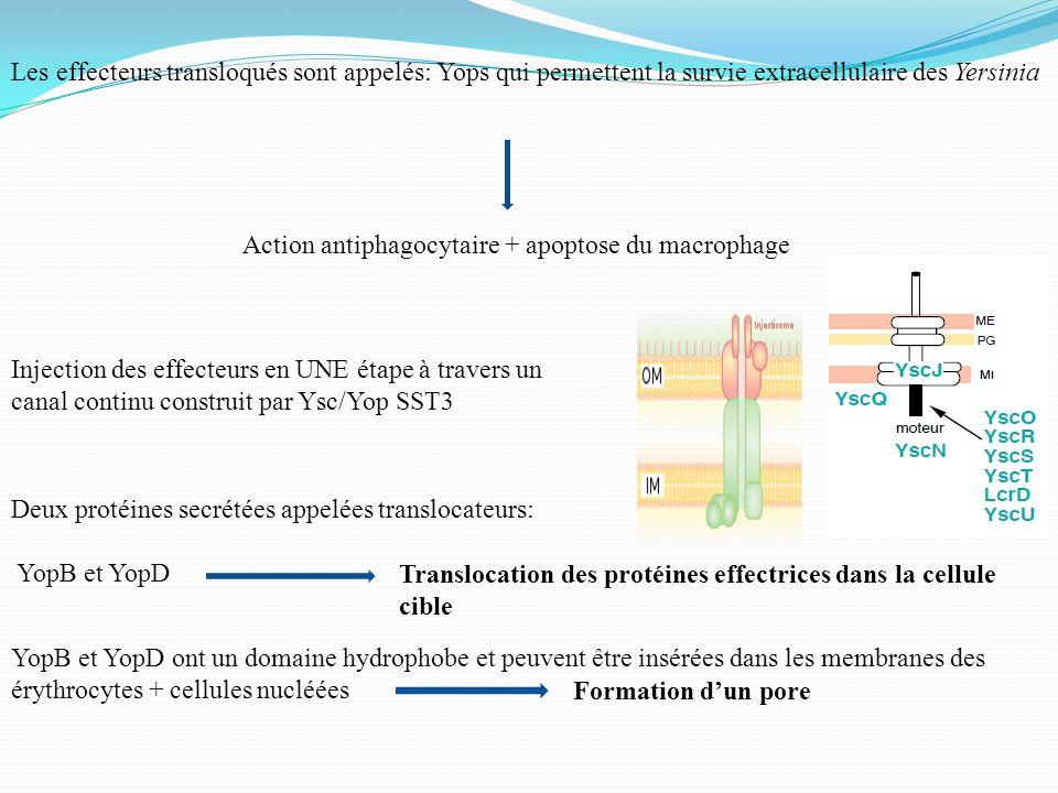 Les effecteurs transloqués sont appelés: Yops qui permettent la survie extracellulaire des Yersinia