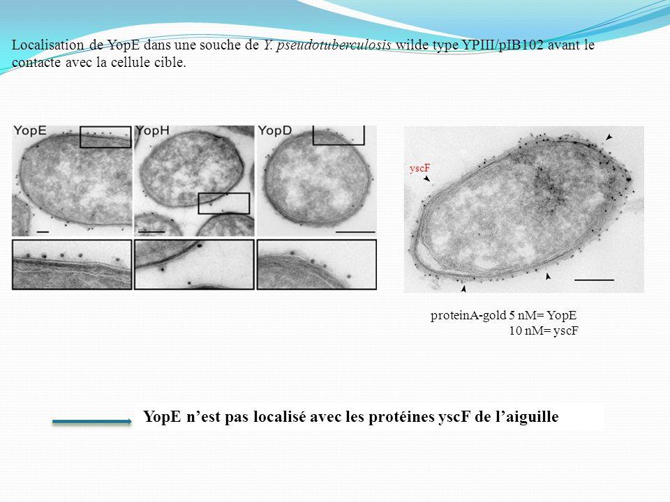 YopE n'est pas localisé avec les protéines yscF de l'aiguille