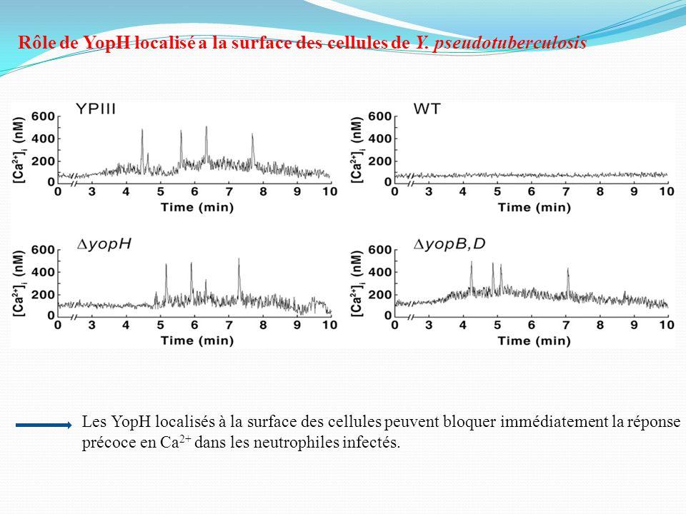 Rôle de YopH localisé a la surface des cellules de Y