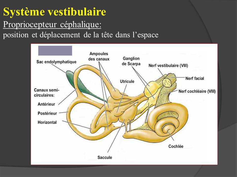 Système vestibulaire Propriocepteur céphalique: position et déplacement de la tête dans l'espace