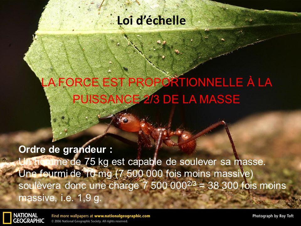 LA FORCE EST PROPORTIONNELLE À LA PUISSANCE 2/3 DE LA MASSE