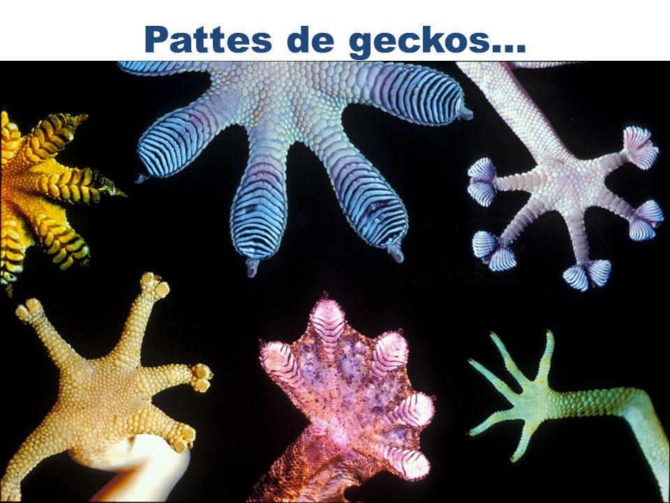 Pattes de geckos…