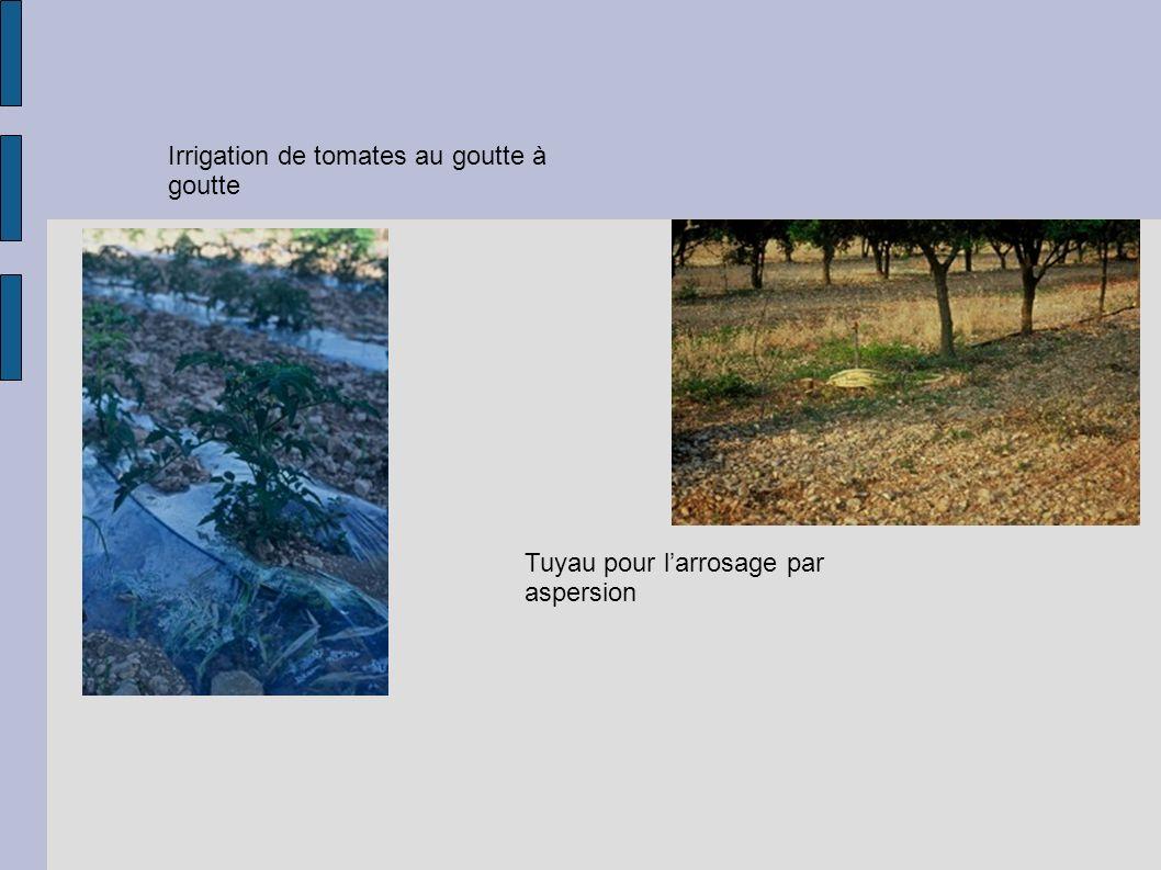 Irrigation de tomates au goutte à goutte