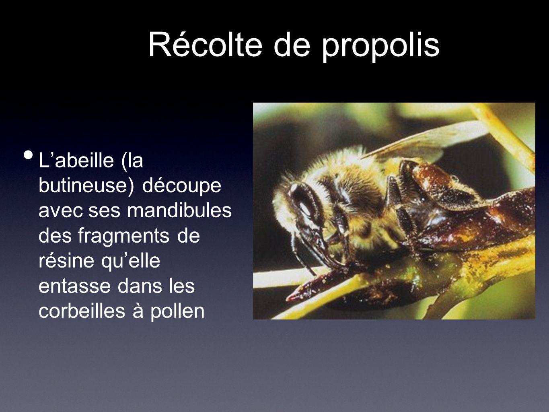 Récolte de propolis L'abeille (la butineuse) découpe avec ses mandibules des fragments de résine qu'elle entasse dans les corbeilles à pollen.