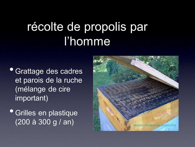 récolte de propolis par l'homme