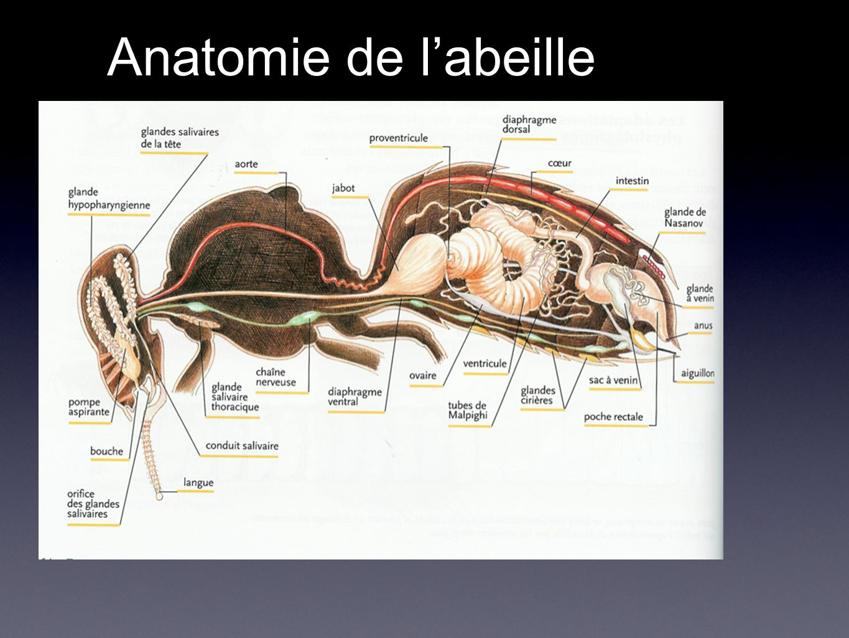 Anatomie de l'abeille