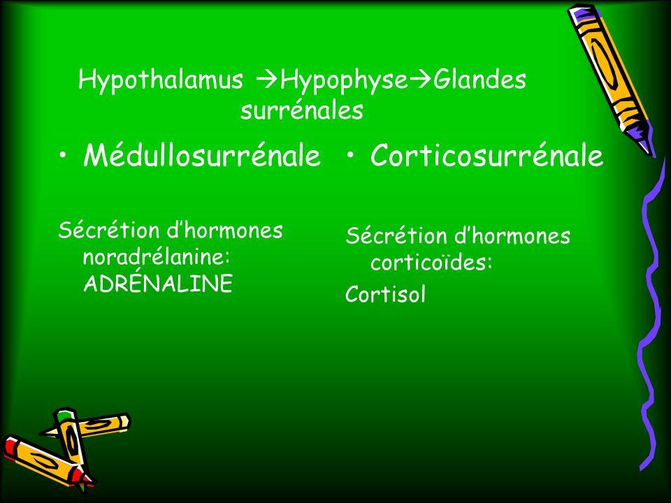 Hypothalamus HypophyseGlandes surrénales