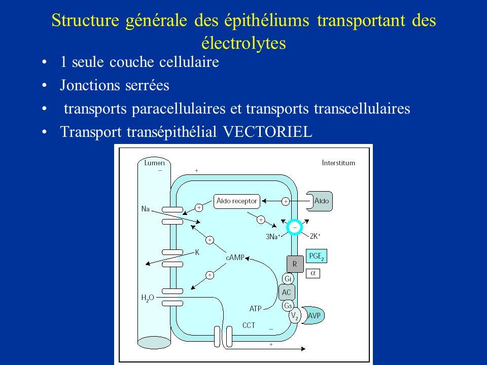 Structure générale des épithéliums transportant des électrolytes