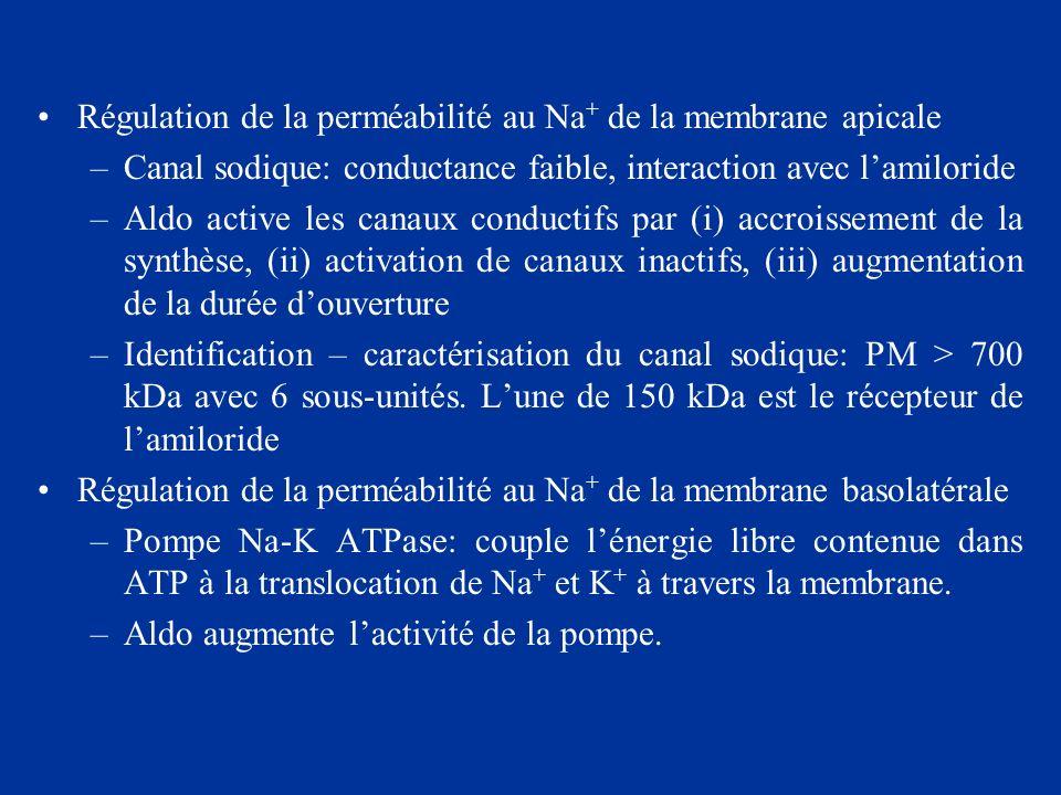 Régulation de la perméabilité au Na+ de la membrane apicale