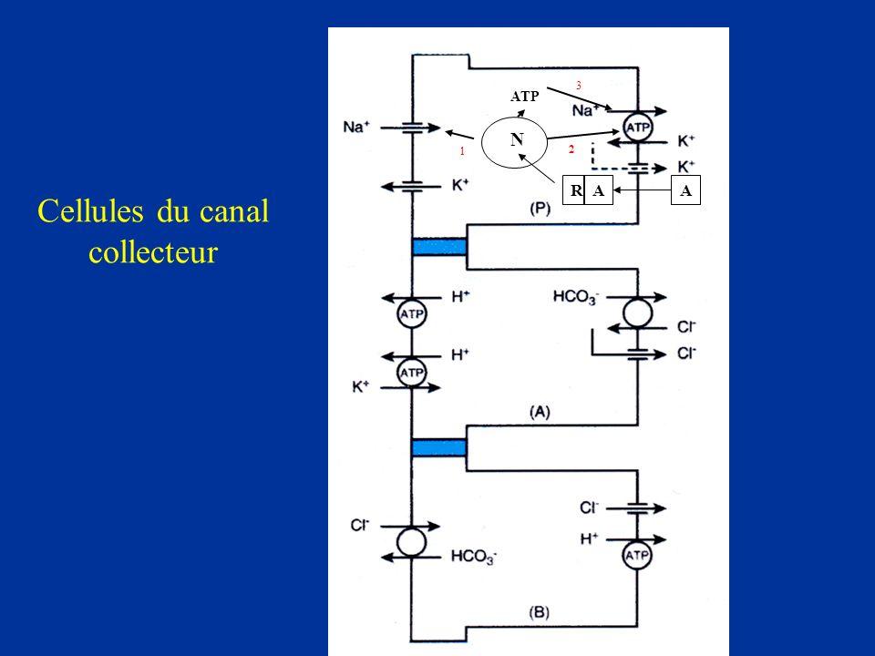 Cellules du canal collecteur
