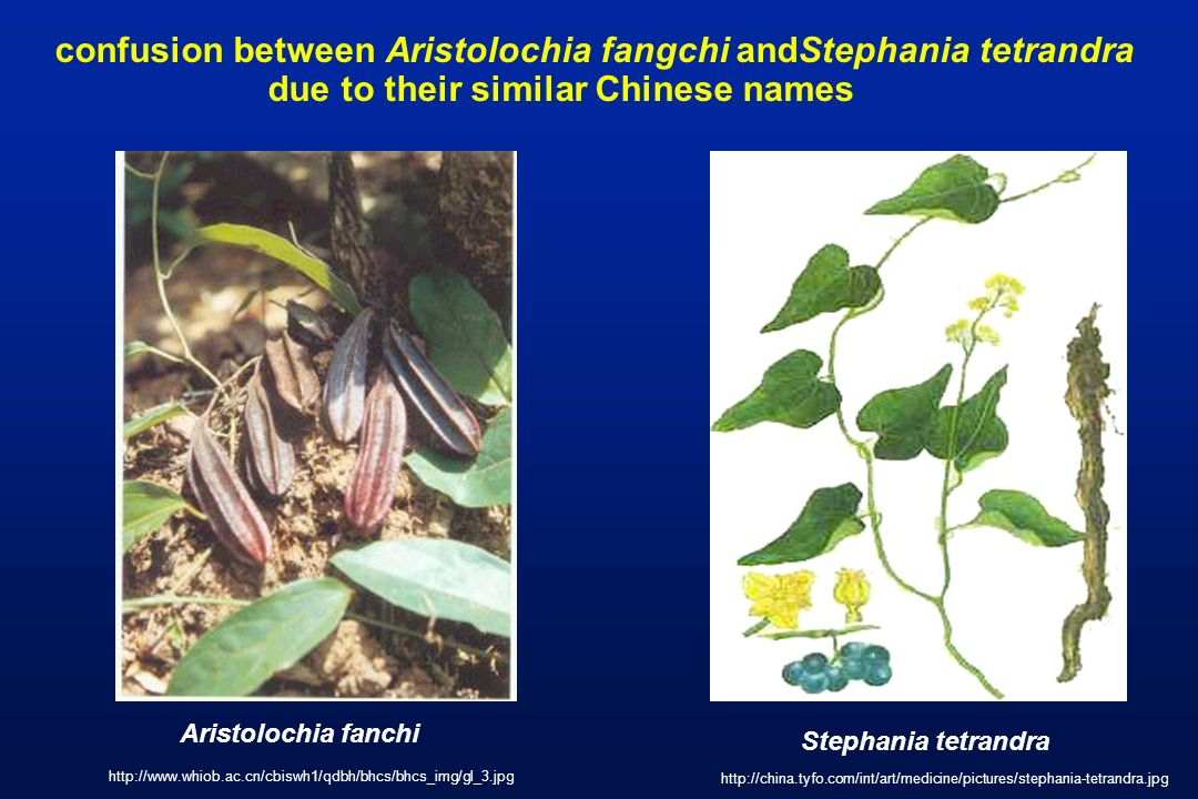confusion between Aristolochia fangchi andStephania tetrandra