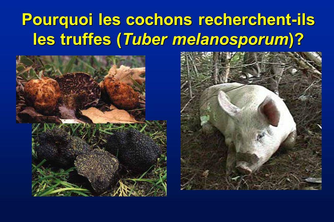 Pourquoi les cochons recherchent-ils les truffes (Tuber melanosporum)
