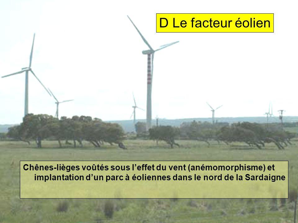 D Le facteur éolien Chênes-lièges voûtés sous l'effet du vent (anémomorphisme) et implantation d'un parc à éoliennes dans le nord de la Sardaigne.