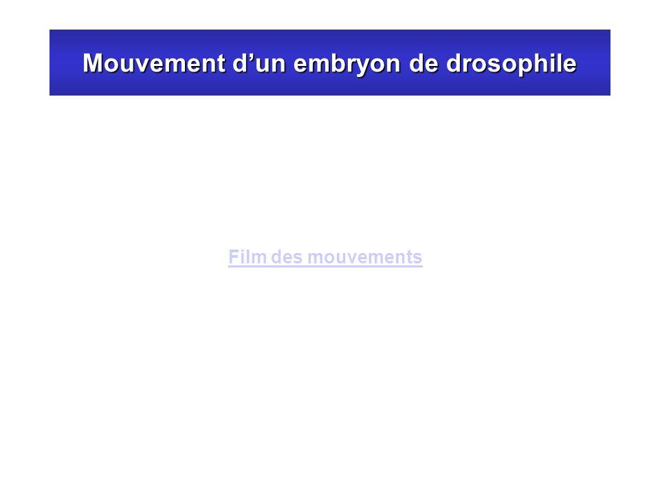 Mouvement d'un embryon de drosophile