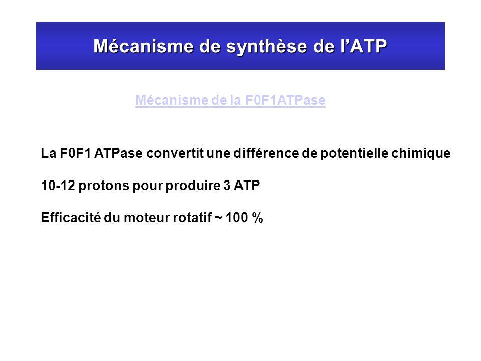 Mécanisme de synthèse de l'ATP