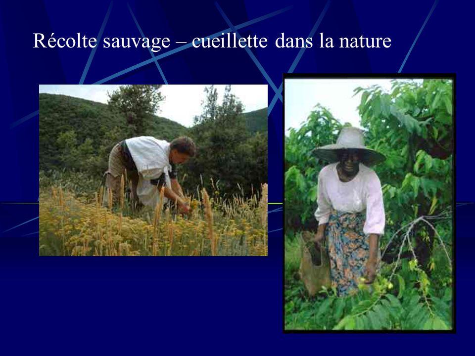 Récolte sauvage – cueillette dans la nature