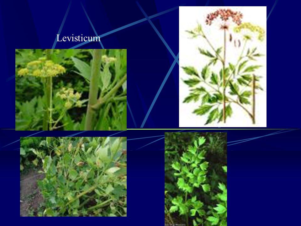 Levisticum