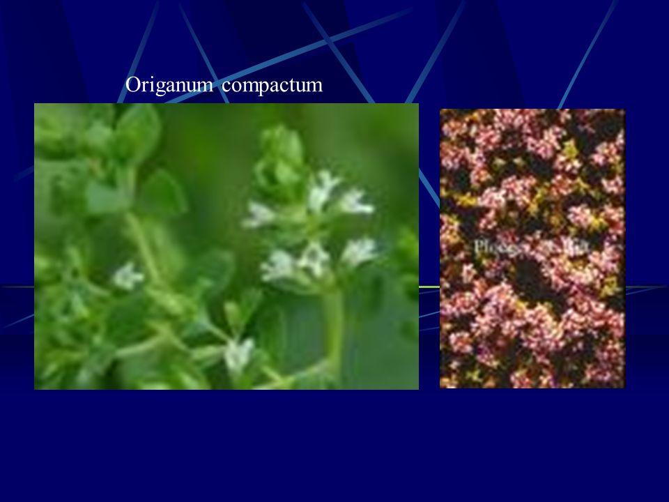 Origanum compactum