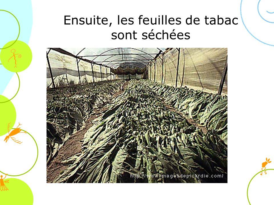 Ensuite, les feuilles de tabac sont séchées