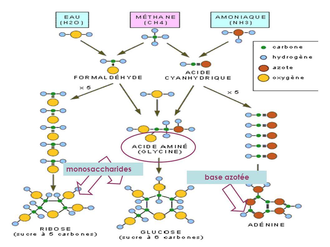 monosaccharides base azotée