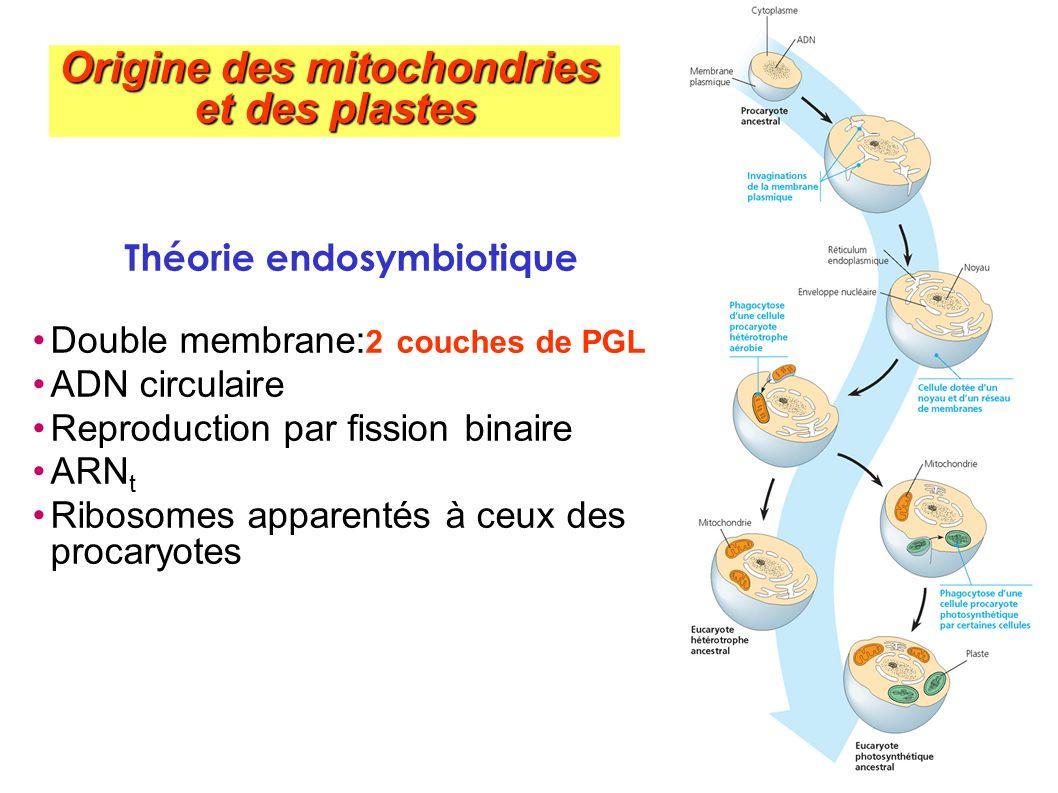 Origine des mitochondries Théorie endosymbiotique