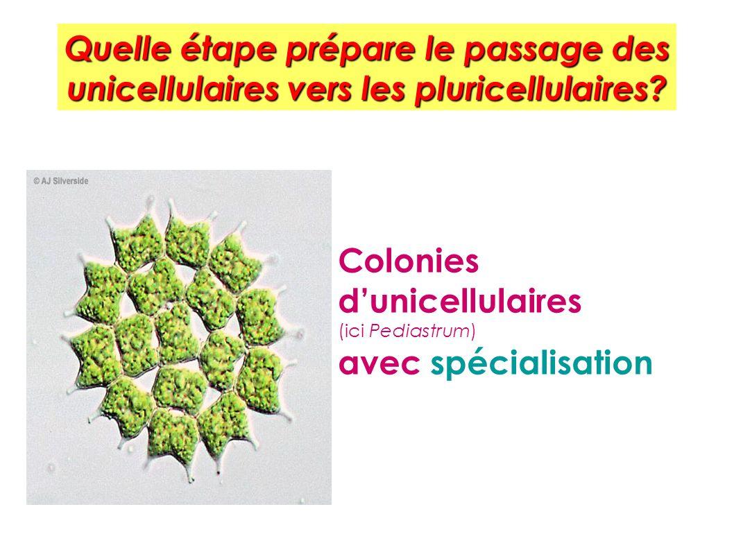 Quelle étape prépare le passage des unicellulaires vers les pluricellulaires
