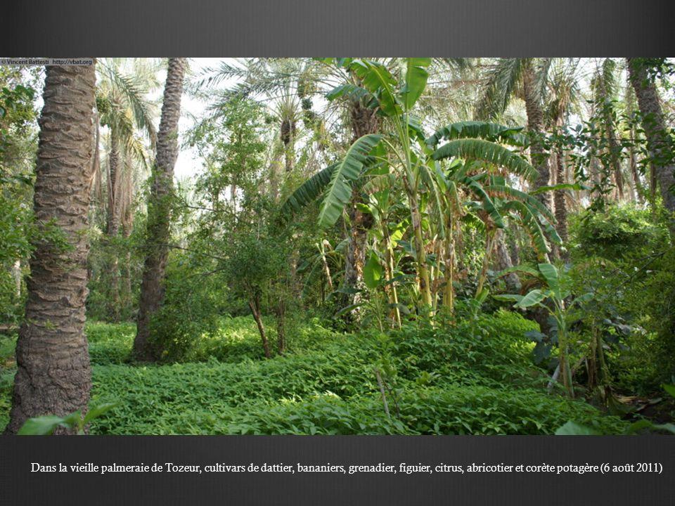 Dans la vieille palmeraie de Tozeur, cultivars de dattier, bananiers, grenadier, figuier, citrus, abricotier et corète potagère (6 août 2011)