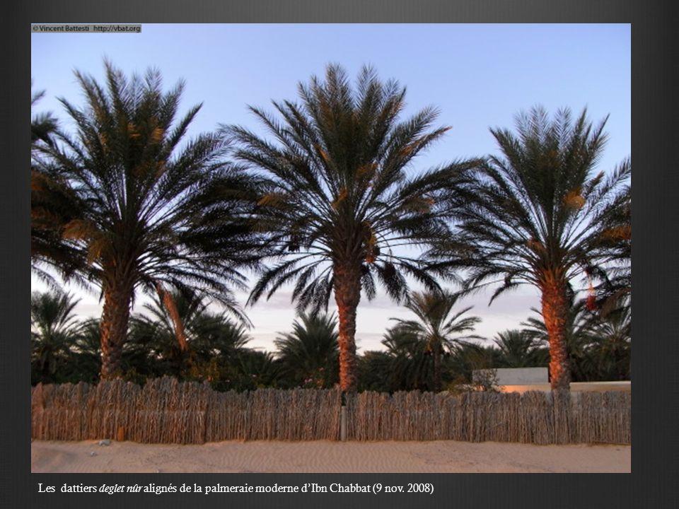 Les dattiers deglet nûr alignés de la palmeraie moderne d'Ibn Chabbat (9 nov. 2008)