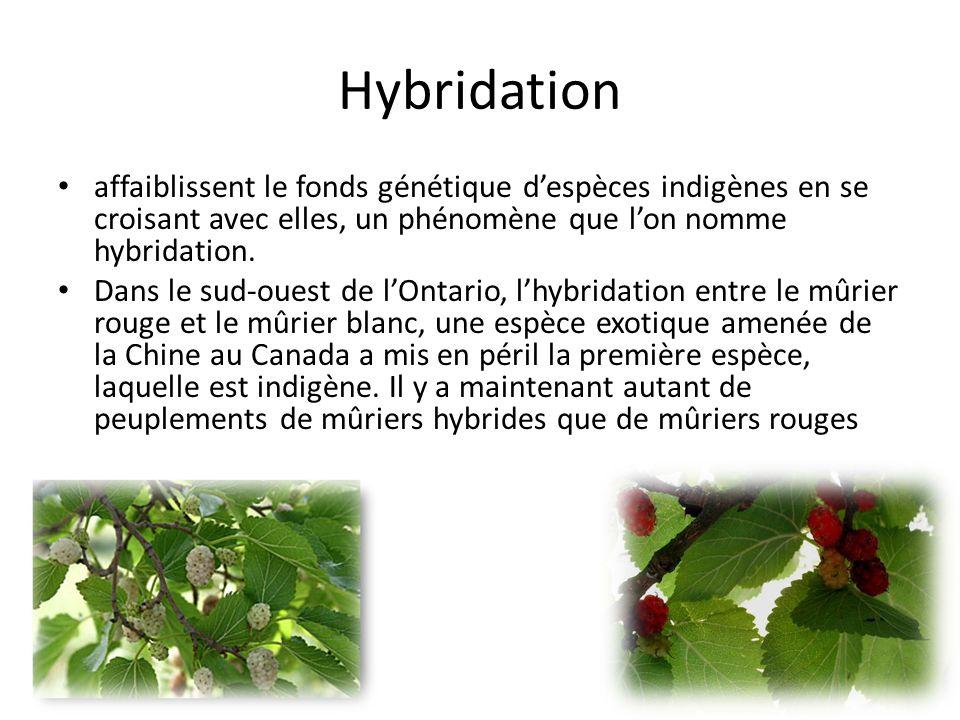 Hybridation affaiblissent le fonds génétique d'espèces indigènes en se croisant avec elles, un phénomène que l'on nomme hybridation.