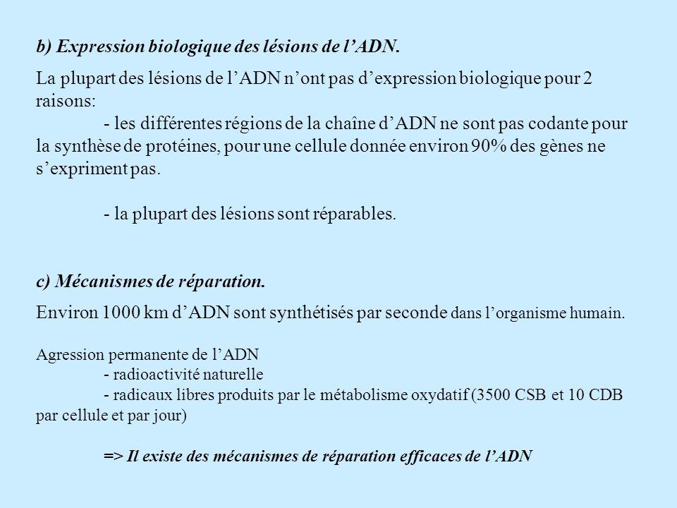 b) Expression biologique des lésions de l'ADN.