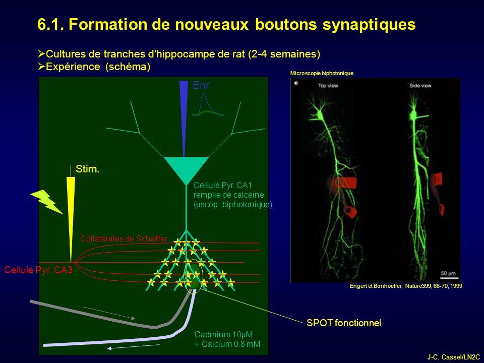 6.1. Formation de nouveaux boutons synaptiques