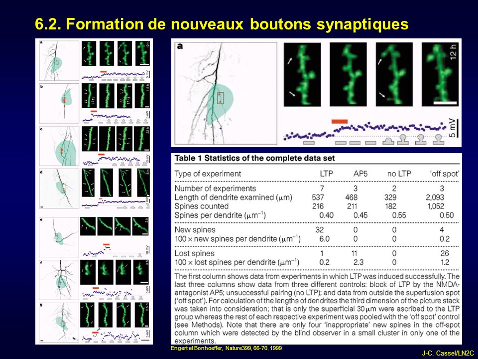 6.2. Formation de nouveaux boutons synaptiques