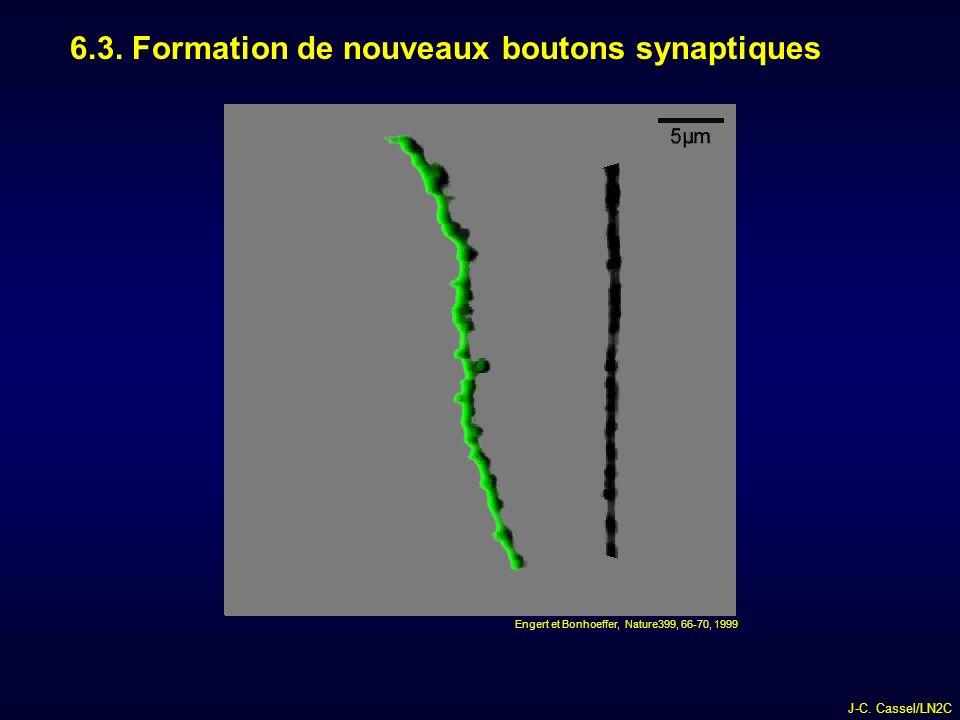 6.3. Formation de nouveaux boutons synaptiques
