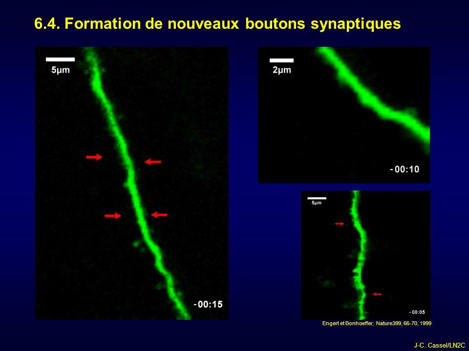 6.4. Formation de nouveaux boutons synaptiques