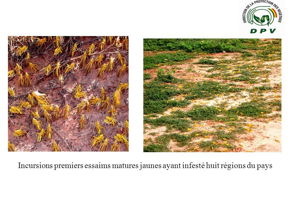 Incursions premiers essaims matures jaunes ayant infesté huit régions du pays