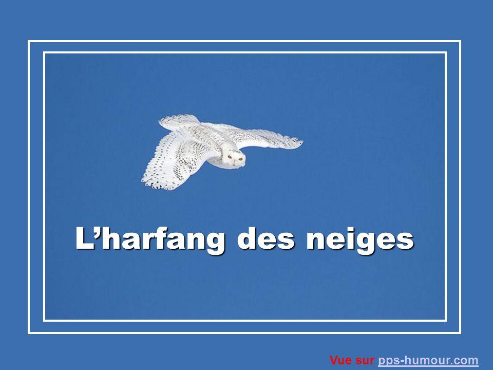 L'harfang des neiges Vue sur pps-humour.com