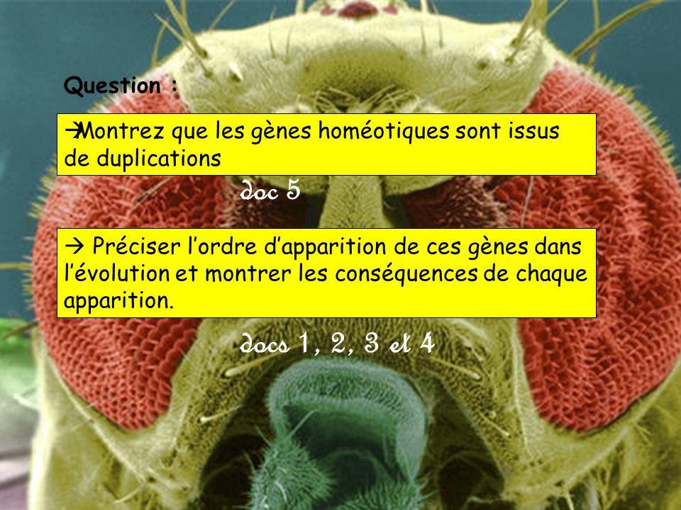 Montrez que les gènes homéotiques sont issus de duplications