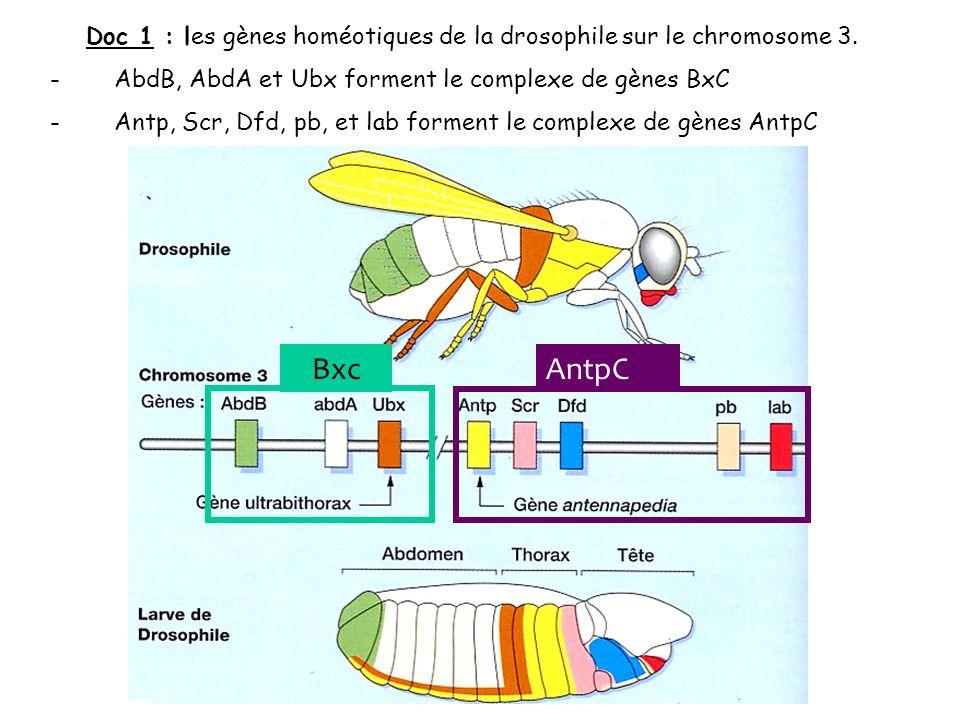 Doc 1 : les gènes homéotiques de la drosophile sur le chromosome 3.