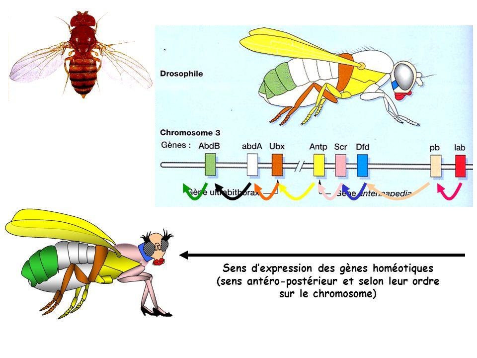 Sens d'expression des gènes homéotiques (sens antéro-postérieur et selon leur ordre sur le chromosome)