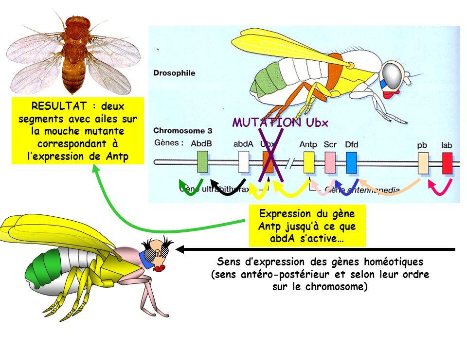 Expression du gène Antp jusqu'à ce que abdA s'active…