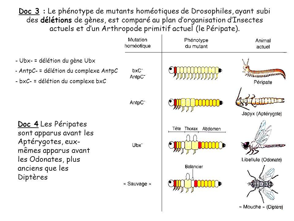Doc 3 : Le phénotype de mutants homéotiques de Drosophiles, ayant subi des délétions de gènes, est comparé au plan d'organisation d'Insectes actuels et d'un Arthropode primitif actuel (le Péripate).