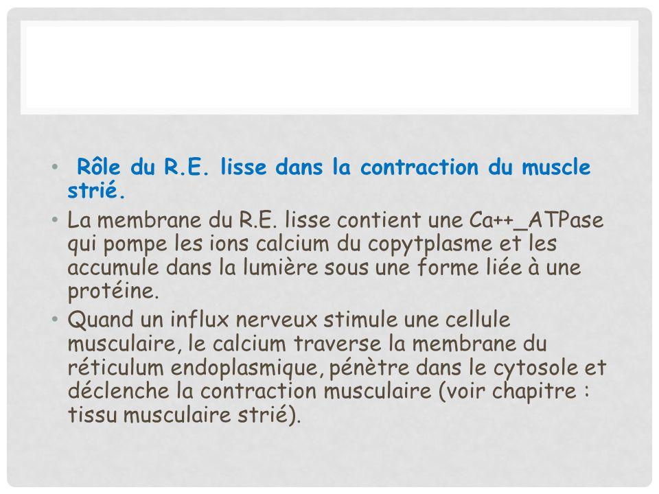Rôle du R.E. lisse dans la contraction du muscle strié.